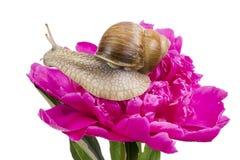Druvasnail på rosa peiny Royaltyfri Fotografi