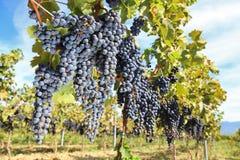druvatuscany wine Royaltyfri Bild