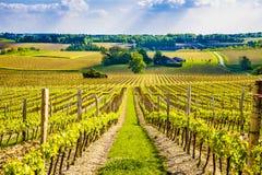 Druvavinrankor i en fransk vingård Royaltyfri Bild