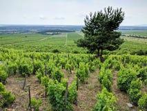 Druvavinrankor i Tokaj vinregion nära Sarospatak, Ungern Arkivfoton
