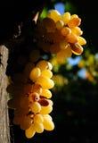 druvor arkivfoton