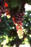 druvor arkivbild
