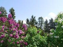 Druvor av purpurfärgade och vita lilor på frodiga massiva filialer med gröna sidor Royaltyfri Bild
