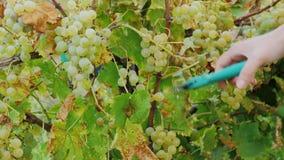 Druvor för kvinnlighandsnitt Mogna vita druvor i vingården, Lake Ontario arkivfilmer
