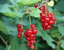 Druvor för röd vinbär Arkivfoto