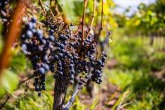 Druvor för rött vin på vinrankan fotografering för bildbyråer