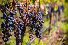Druvor för rött vin på vinrankan arkivbild