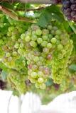 Druvor för vit wine Arkivbilder