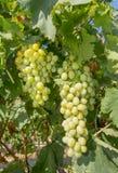 Druvor i en vingård Royaltyfria Foton