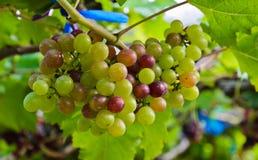 Druvor i en vingård Royaltyfri Foto