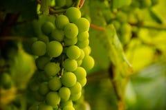 Druvor i en vingård Arkivbild