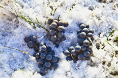 Druvor i snön Arkivbild