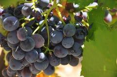 Druvor i sydliga Frankrike royaltyfria foton