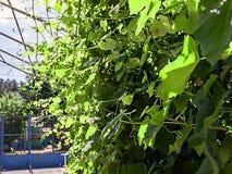 Druvor i trädgården gör grön mycket arkivfoto