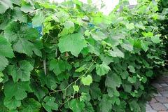 Druvor i trädgården gör grön mycket arkivbild