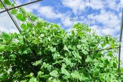 Druvor i trädgården gör grön mycket royaltyfri foto