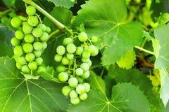 Druvor i trädgården gör grön mycket royaltyfri bild