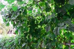 Druvor i trädgården gör grön mycket royaltyfria foton