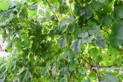 Druvor i trädgården gör grön mycket royaltyfria bilder