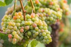 Druvor i tysk vin-växande region arkivbilder