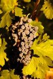 Druvor i vine Fotografering för Bildbyråer