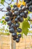 Druvor i vingård Arkivfoto