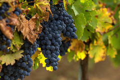 Druvor i vingård Royaltyfri Foto