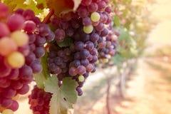 Druvor i vingård fotografering för bildbyråer