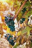 Druvor i vingård arkivbild