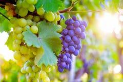 Druvor i vingård royaltyfri fotografi