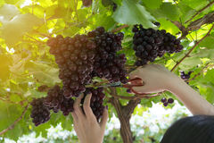 Druvor i vingård Royaltyfri Bild