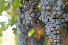 Druvor i vingård i sommar Tid Bozcaada Canakkale Turkiet 2017 Arkivfoto