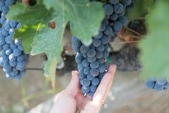 Druvor i vingård i sommar Tid Bozcaada Canakkale Turkiet 2017 Royaltyfri Bild