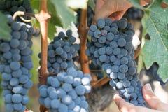 Druvor i vingård i sommar Tid Bozcaada Canakkale Turkiet 2017 Royaltyfria Foton