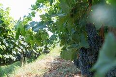 Druvor i vingård i sommar Tid Bozcaada Canakkale Turkiet 2017 Arkivbild