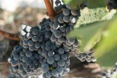 Druvor i vingård i sommar Tid Bozcaada Canakkale Turkiet 2017 royaltyfri foto
