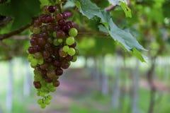 Druvor i vingården Arkivfoto