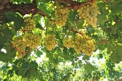 Druvor i winegård Arkivbild