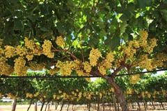 Druvor i winegård Arkivfoto