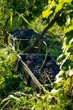 Druvor i wineyard Fotografering för Bildbyråer