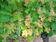 Druvor närbild på vingårdar som lokaliseras i Dordogne royaltyfria foton