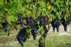 Druvor och vingårdar arkivfoto