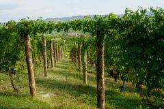 Druvor och vingårdar arkivbilder