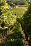 Druvor och vinrankor Arkivbild