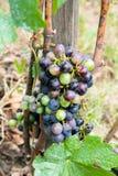 Druvor på en Vine Fotografering för Bildbyråer