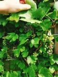 Druvor på en Vine Arkivbild