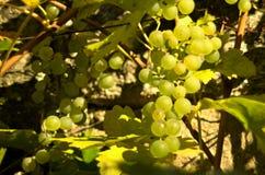 Druvor på vine royaltyfria foton