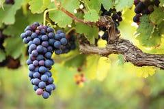 Druvor på vine Royaltyfri Foto