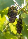 Druvor på vine fotografering för bildbyråer