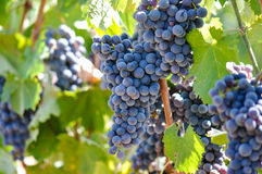Druvor på vinen arkivbilder